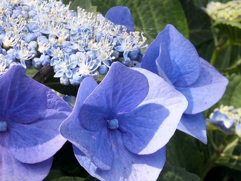 萼(がく)紫陽花(77876 byte)