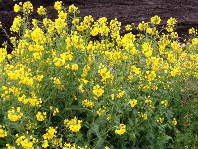 写真 菜の花3