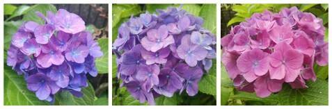 平静26年6月紫陽花