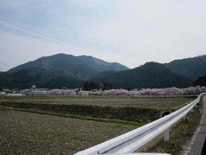 26鮎河桜1