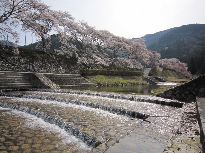 26鮎河桜2