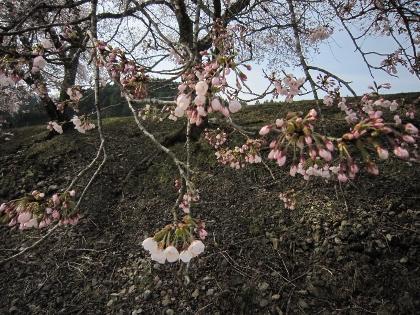 26鮎河桜3