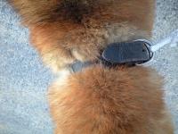 迷い柴犬首輪