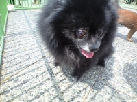 迷い犬黒ポメ♀