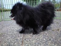 音戸迷い犬黒ポメ♀10歳位