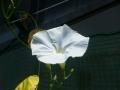 暑い日も花