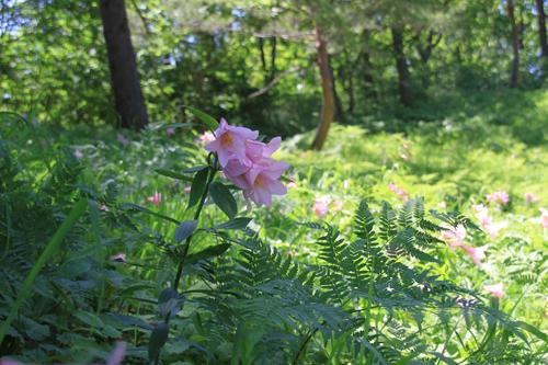 高清水自然公園ヒメサユリ626 04