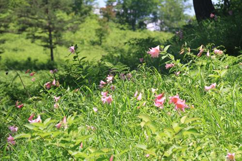 高清水自然公園ヒメサユリ626 07