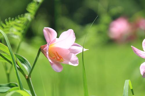 高清水自然公園ヒメサユリ626 14