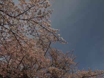 P4074479桜