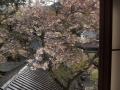 P4074475桜