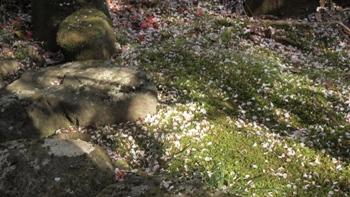 P4074482桜