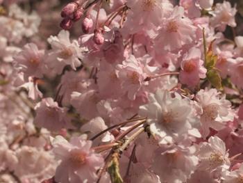 P4084519枝垂れ桜