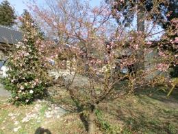 h26桜・梅