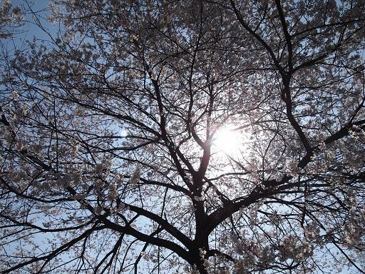 花見陽光と桜