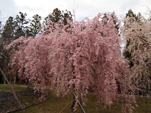 だいやがわ公園しだれ桜