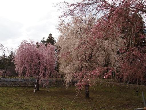 だいやがわ公園しだれ桜桃と白