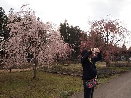 だいやがわ公園佳子としだれ桜