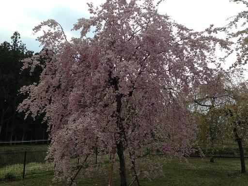 だいやがわ公園満開しだれ桜
