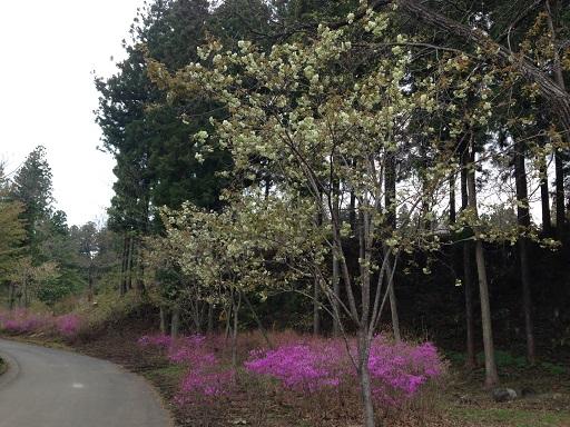 だいやがわ公園緑の桜