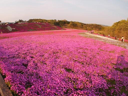 益子芝桜公園景色