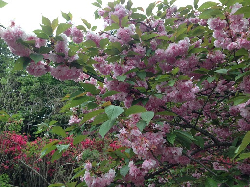 ぼたん桜の木