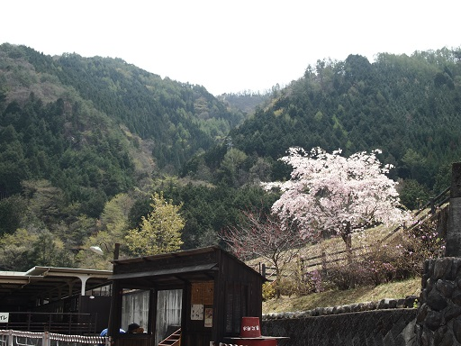 足尾銅山桜満開
