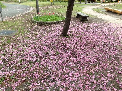 ランニング散り桜