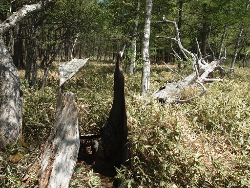 戦場ヶ原ハイキング落雷焼け樹木
