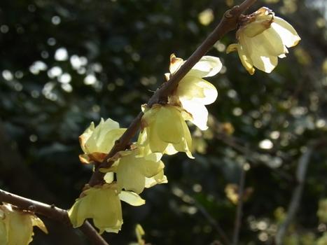 「春を告げる花木(1)」