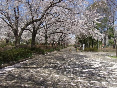 「サクラ ~桶川:城山公園(1)」