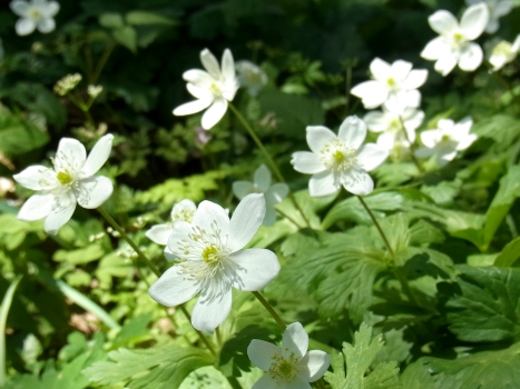 「ニリンソウ ~白い2輪の花:小川町(2)」