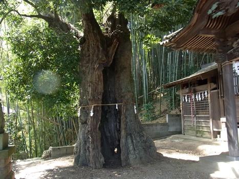 「シラカシ ~白山神社の大カシ:小川町」