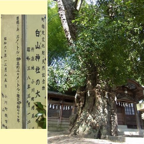 きれぎれの風彩 「白山神社の大カシ」1-7