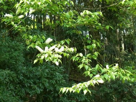 「ウワミズザクラ ~ブラシ状の白い花序(1)」