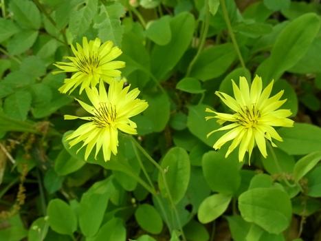 「オオジシバリ ~黄色の舌状花」