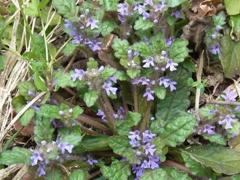 「キランソウ ~紫色の唇形小花」