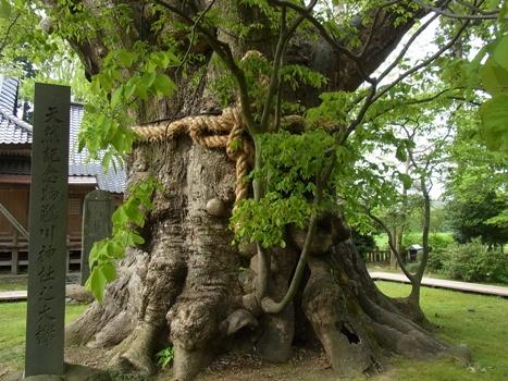 「ケヤキ ~鵜川神社の大欅〔巨樹〕」