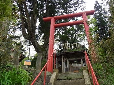「スギ ~中村の大杉〔巨樹〕」