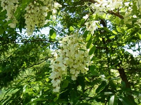 「ハリエンジュ(ニセアカシア) ~白花の総状花序」
