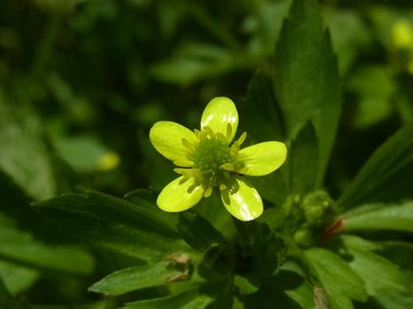 「ケキツネノボタン ~黄5弁花と集合果」
