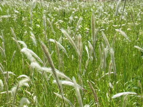 「チガヤ ~群生する白い花穂」