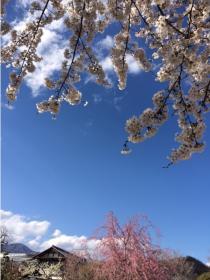 桜岩手_convert_20140408215434