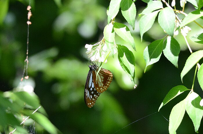 アサギマダラチョウ02s
