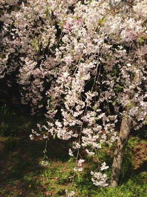 しだれ桜ですね2