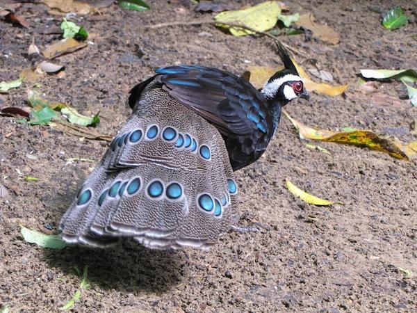 パラワンコクジャク