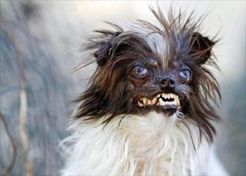 【閲覧注意】世界一醜い犬コンテストが相変わらずひどい