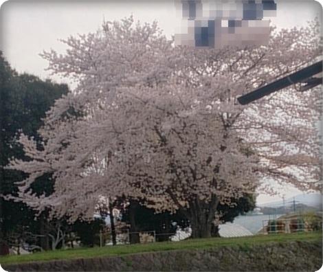 0406桜2