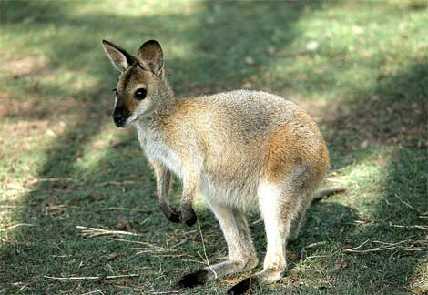 wallaby-baby.jpg