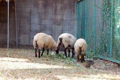 14.7.23羊食事中